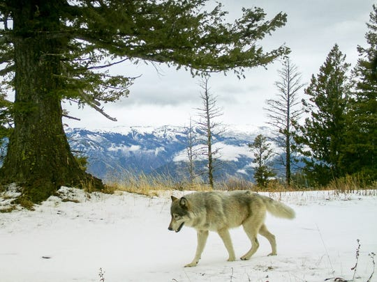 A wolf from the Snake River Pack passes a remote camera