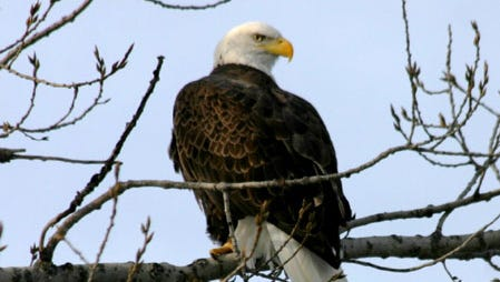 Bald eagles have returned to the Lower Wisconsin River area.