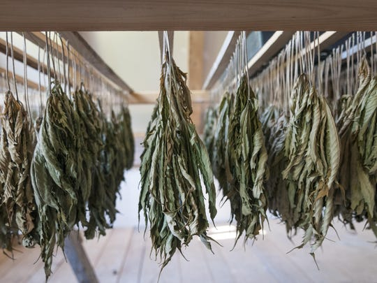 Hemp leaves dry in the barn at a farm in Marlboro. The cultivation of hemp in Vermont is currently overseen by the Agency of Agriculture. The proposed law will apply only to the four marijuana dispensaries in the state. Farmers who grow hemp for agricultural purposes would remain under the jurisdiction of the agriculture agency.