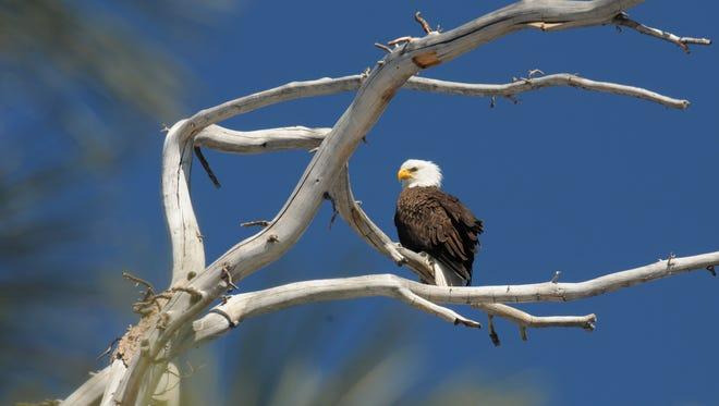 Adult bald eagle at Big Bear Lake, Saturday, March 14, 2015.