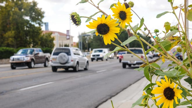 Sunflowers  bloom along East University Avenue near the corner  of Chaparral Street.