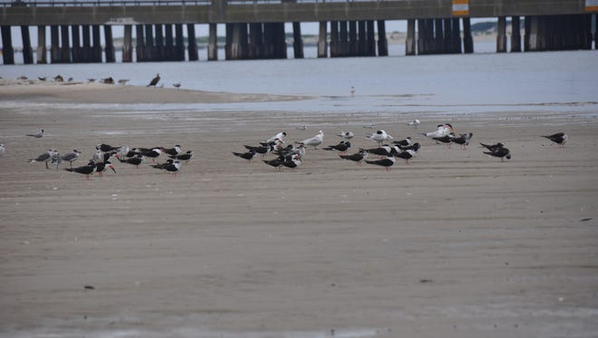 Skimmers hunt for food on Skimmer Island in the Isle of Wight Bay in a 2011 file photo.