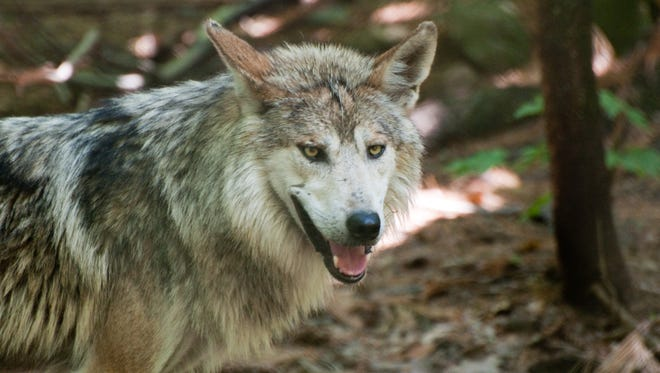 """The gray wolf is one of the species featured in a new exhibit, """"Wild Survival,"""" at the N.C. Arboretum."""