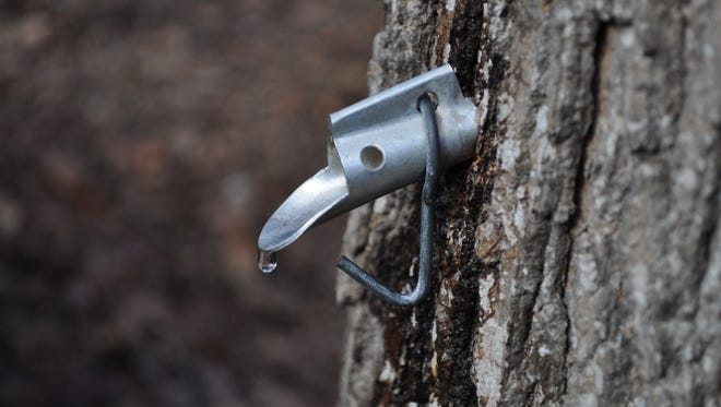 Tapping a sugar maple tree is easy, but making syrup is not. You may have to shop online for a tap.