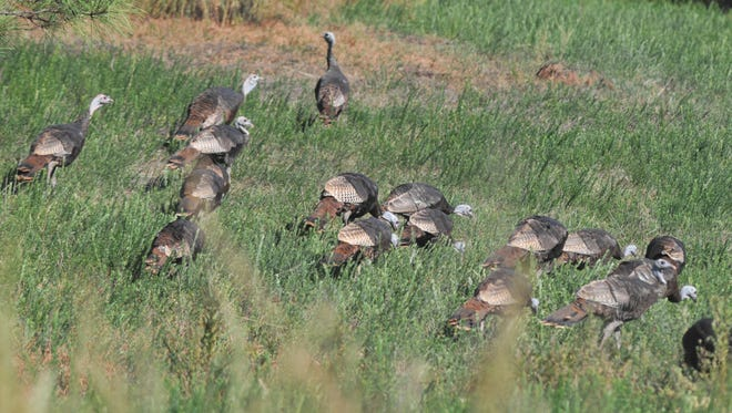 Turkeys will soon be separating from their winter flocks. The statewide spring season opens April 16. .
