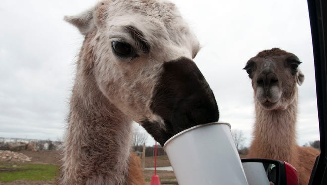 Hungry alpacas and llamas have no problem getting close to humans for a treat at African Safari Wildlife Park.