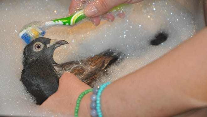 Pidge gets her third bath in an effort to remove the sticky oil from her feathers.