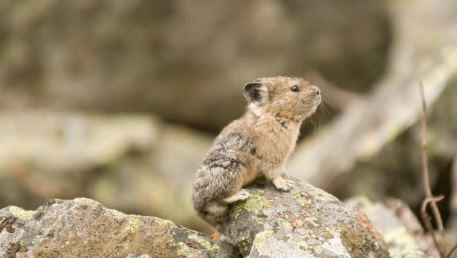 An American Pika, spotted in Glacier National Park, in Montana's Rocky Mountains