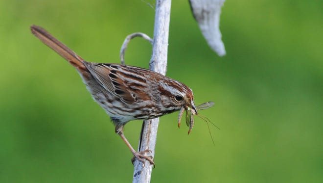 To feed its brood, a song sparrow gathers insects that, without native vegetation, wouldn't exist.