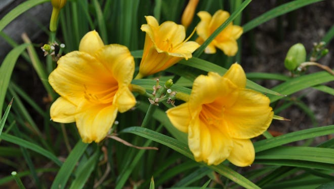 Daylily Stella de Oro has Indiana roots.