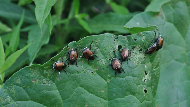 Japanese beetles feed on more than 300 different plants. The insects have made a comeback in Indiana.