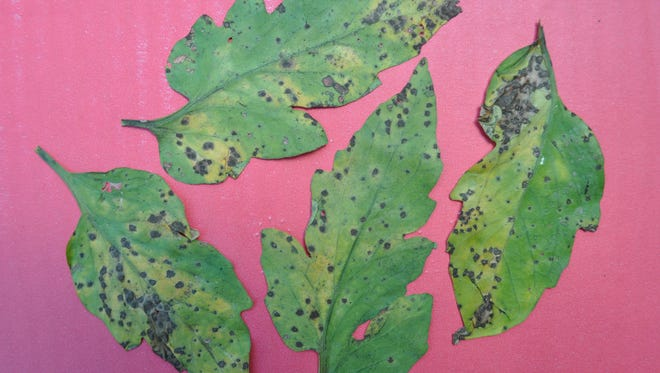 Leaf spot is a common tomato problem.