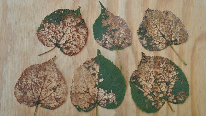 Hungry insects can quickly turn tree leaves into lace.