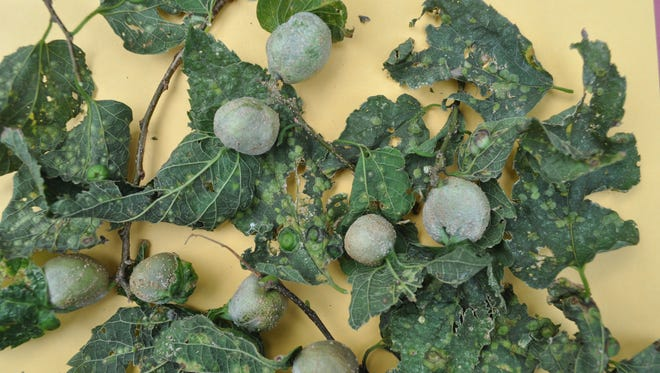 The hackberry petiole gall is one of at least 10 different galls that can be found on hackberry trees.