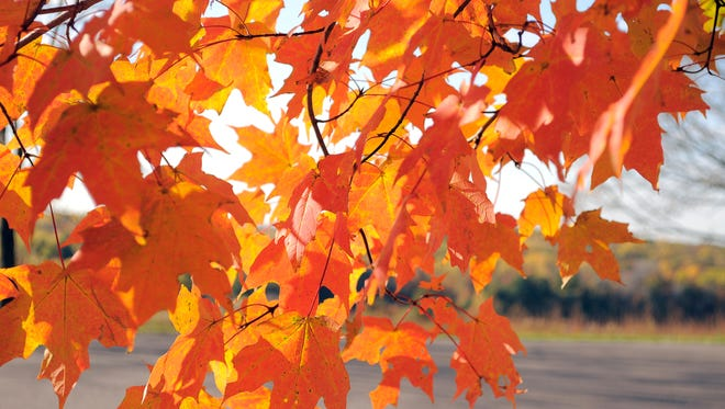 A maple tree's leaves change color in Wisconsin.