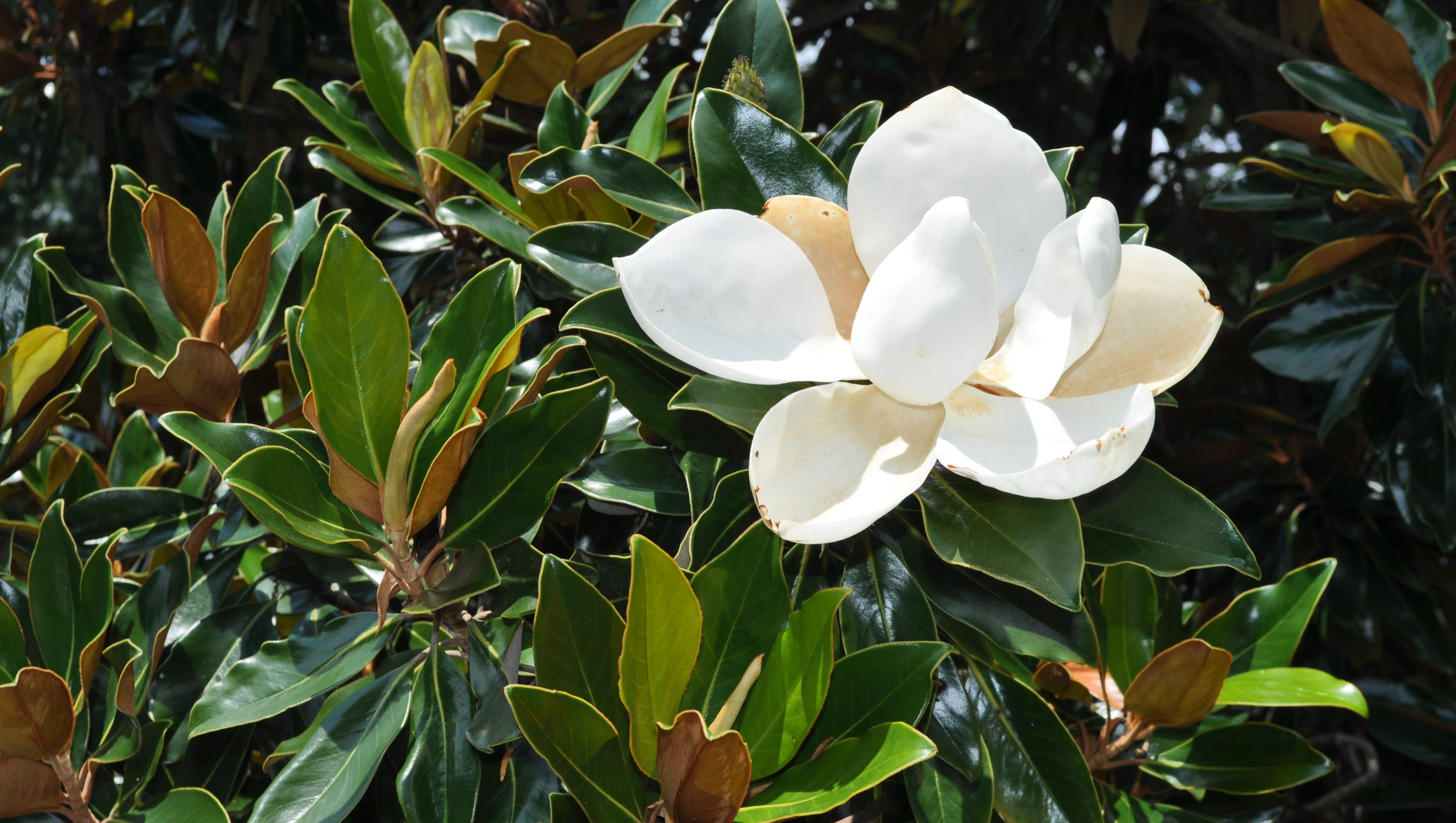 Dr Dirt Magnolia Not Commonly Found