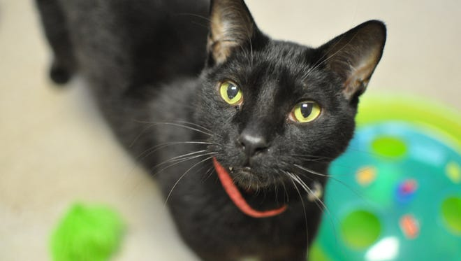 A 5-year-old guy who loves being held and getting pet, Weber is very vocal. He is neutered.