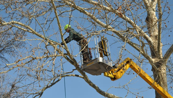 Large trees require the services of an arborist.