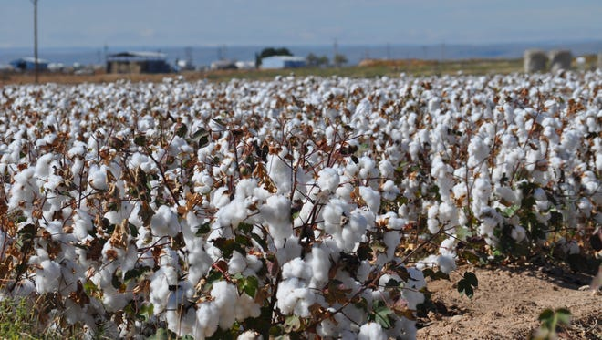 Cotton blossoms in a field south of Carlsbad, New Mexico.