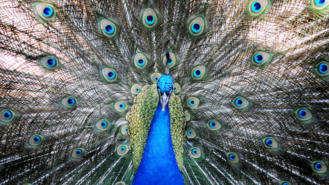 A male peacock tries to impress a female by raising his feathers at the Cypress Black Bayou Park & Recreation Area Zoo and Rehabilitation Center.