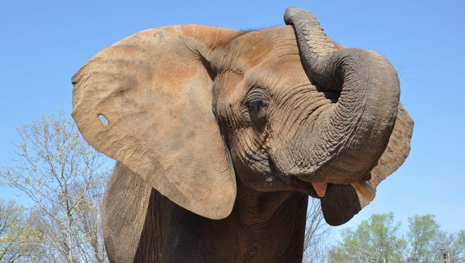 Mikki, the Louisville Zoo's 32-year-old African elephant, who the zoo announced is pregnant.