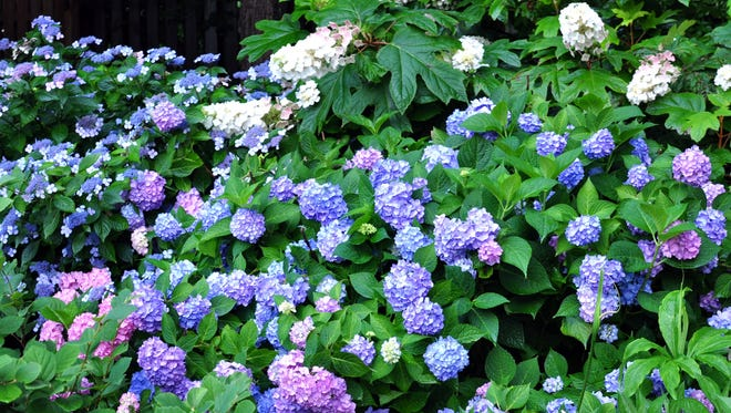 Failed with hydrangeas in the past? Newer cultivars give you better landscape performance.
