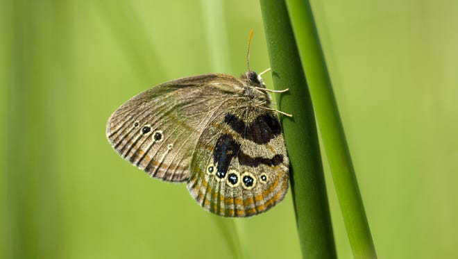 Mitchell's Satyr Butterfly is a federally endangered species in Michigan.