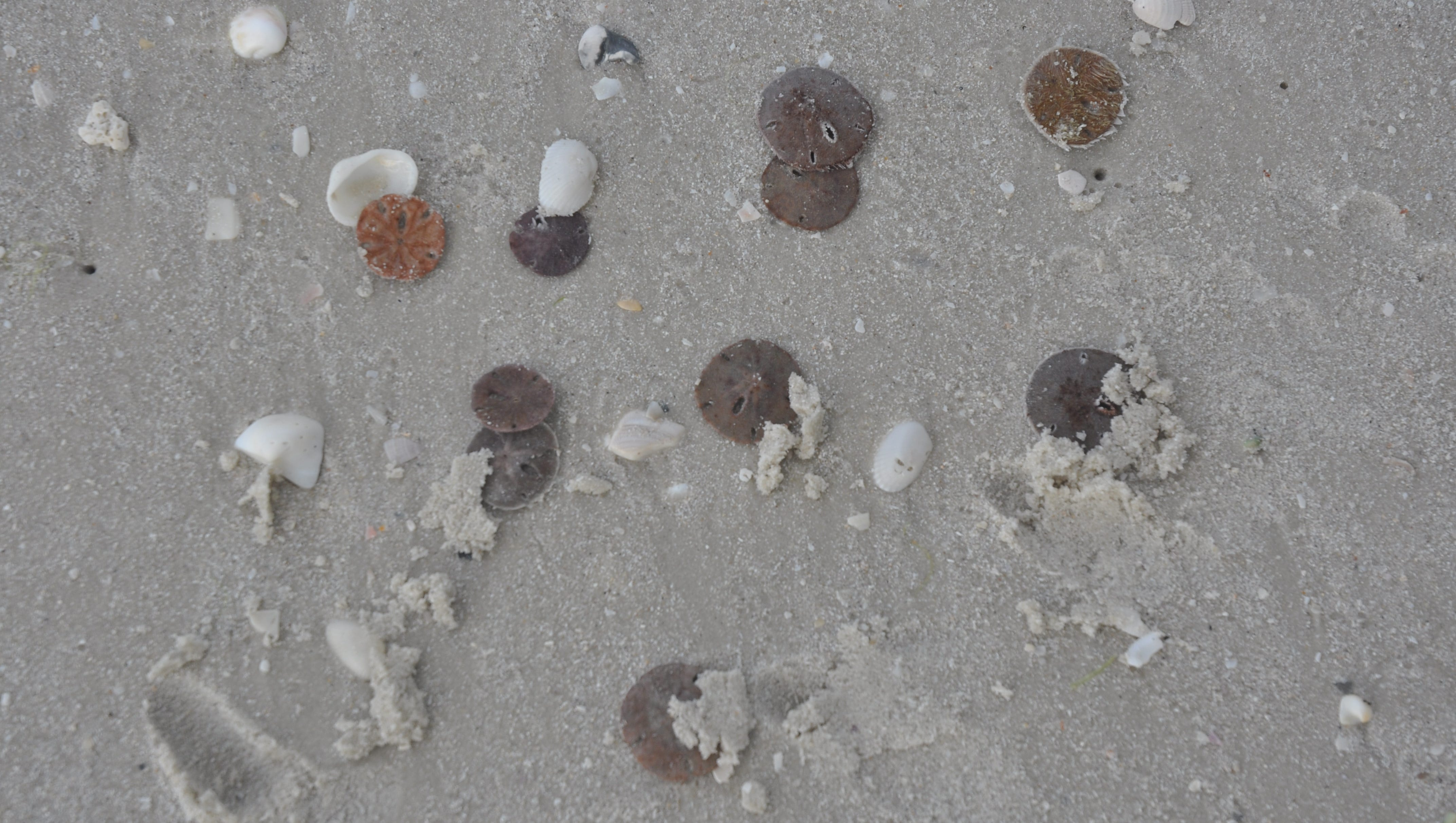 Thousands Of Sand Dollars Found Dead On The Beach In Florida