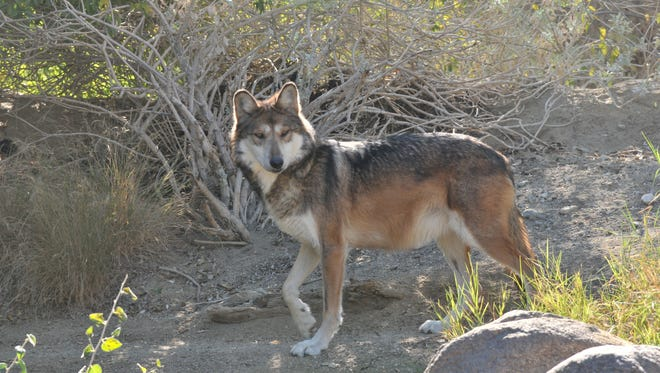 Desi, a 5-year-old Mexican wolf, is the latest addition to The Living Desert. Dec. 4, 2014.