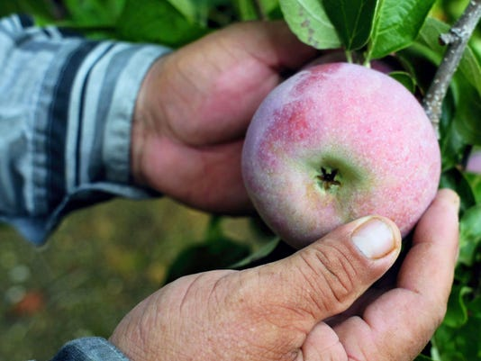 Cortland apples are harvested Thursday at Shatzer's Orchard, Lincoln Way West, west of Chambersburg in Hamilton Township.