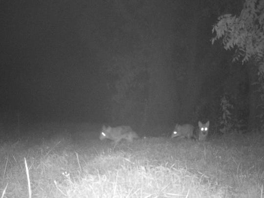 Mike Landon of Powell shot a photograph of these coyotes with a night-vision camera on his farm.