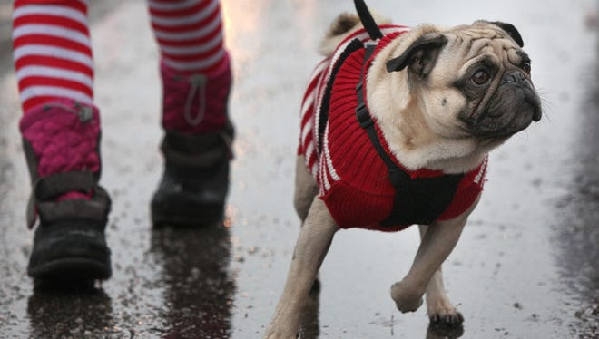 A pug walks the Christmas parade during the Yorktown Luminary Festival in this file photo