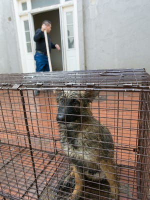 A man left behind 36 dogs, including Czech Shepherd puppies at a home on Southwind Road on Wednesday. The dogs were taken to the Animal Services Center of the Mesilla Valley, where some were euthanized and some were shipped to other shelters in the state.