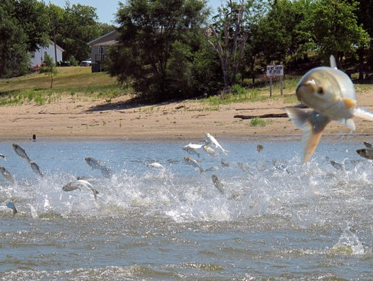 Asian carp jump from the Illinois River near Havana, Ill. The U.S. Army Corps of Engineers has proposed installing new defenses on the Des Planes River to prevent Asian carp from reaching the Great Lakes.