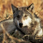 Another gray wolf illegally shot and killed in Oregon