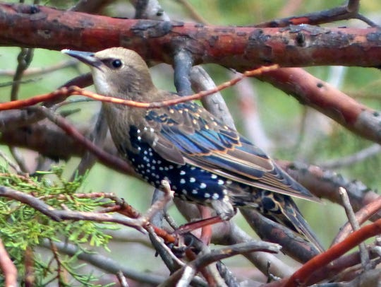 A starling bearing its winter colors waits in a tree