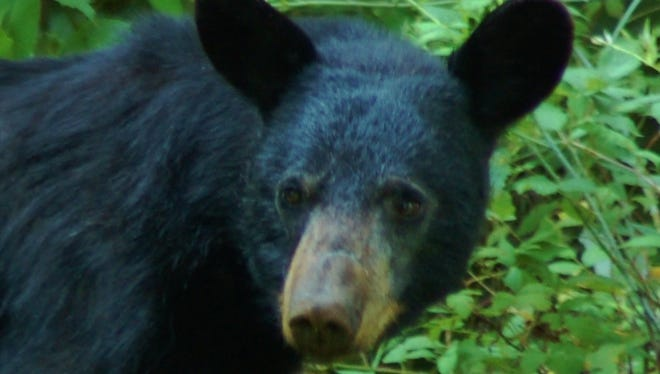 Some Wildlife Management Units in Pennsylvania will have a shorter bear hunting season in 2016.