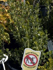 A germander teucrium is one of the varieties of plants that are deer resistant. P