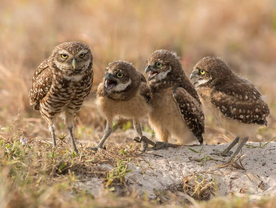 A female Burrowing Owl look exhausted as four of her