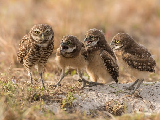 A female Burrowing Owl look exhausted as four of her owlets vie for her attention.