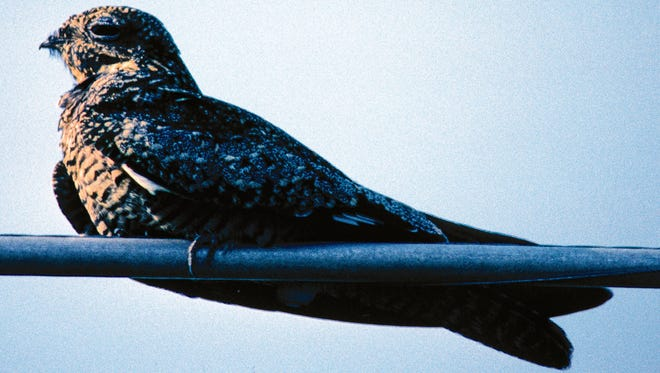 The whiskers around the common nighthawk's beak allows it to catch and eat lots of insects while on the fly.