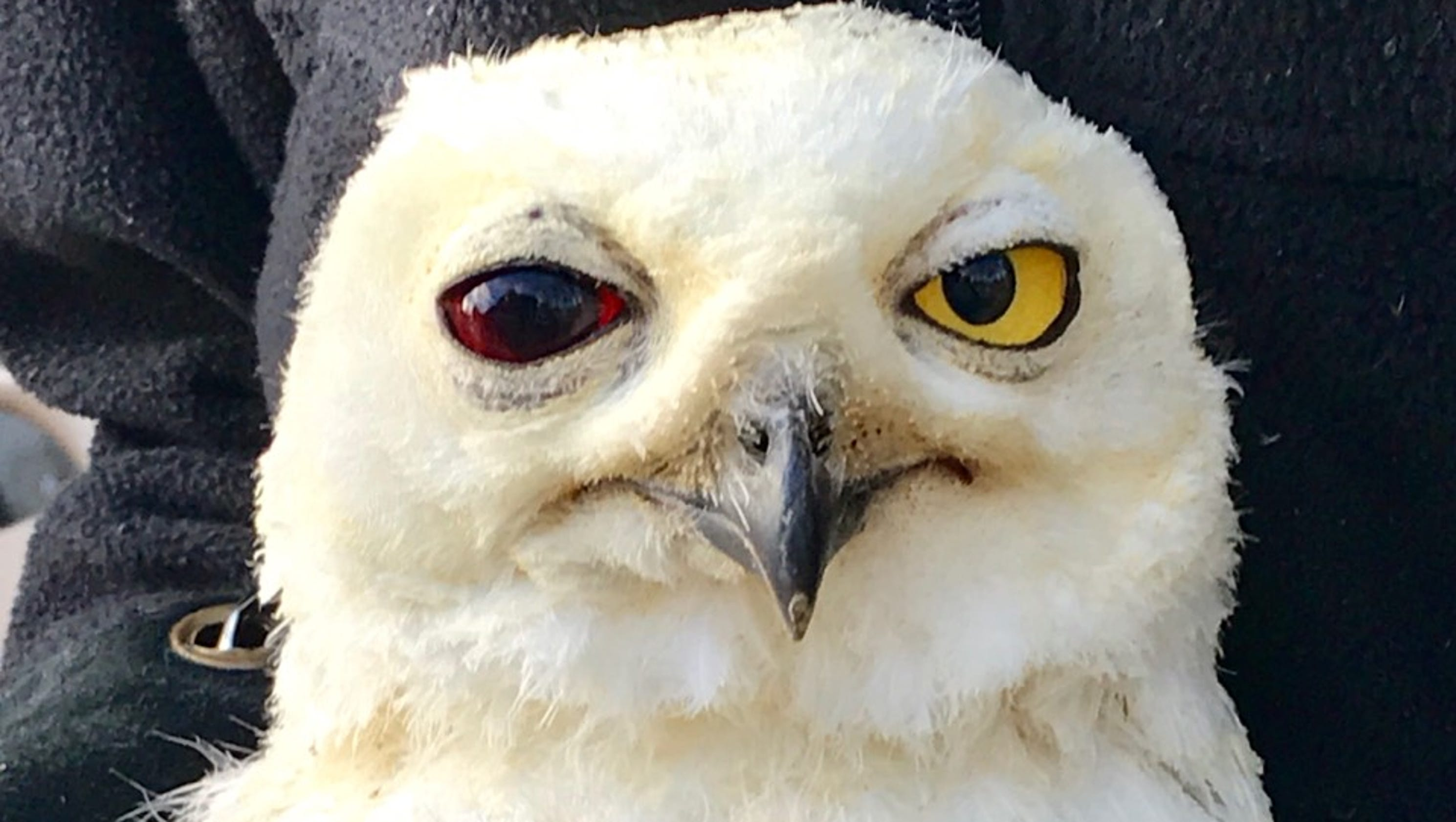 Snowy owl fights for life after dramatic rescue on louisville freeway biocorpaavc Choice Image