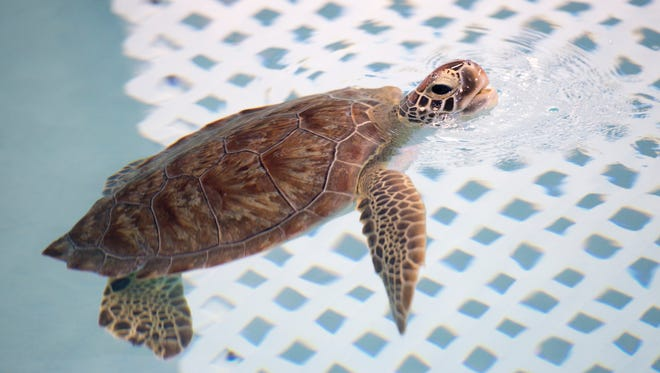 Sweet Pea, a female juvenile green sea turtle, comes to the surface for a breath of air as she checks out her new home at the Navarre Beach Sea Turtle Conservation Center on Thursday, January 18, 2018.