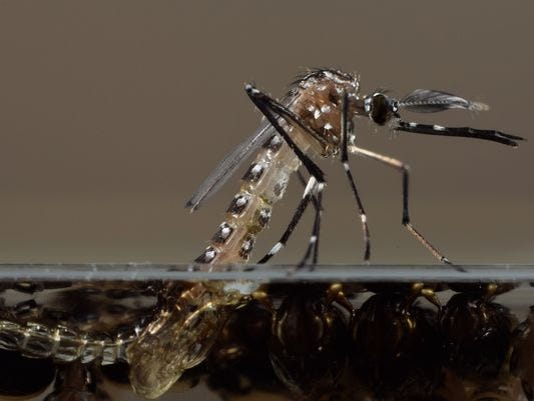 635578581859624196-635578559582399046-Modified-Mosquitoes-Kell