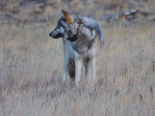 Mexican Gray Wolf sighting