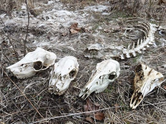 Deer bones and skulls are shown on private property near Panoramic Drive in Mountain Home. Arkansas Department of Environmental Quality solid waste inspector Gary Meador was cited for littering when a game camera captured him dumping deer carcasses on the property.