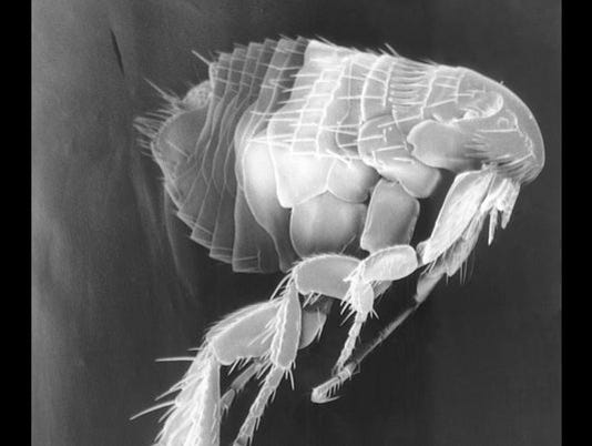 flagstaff fleas plague black death