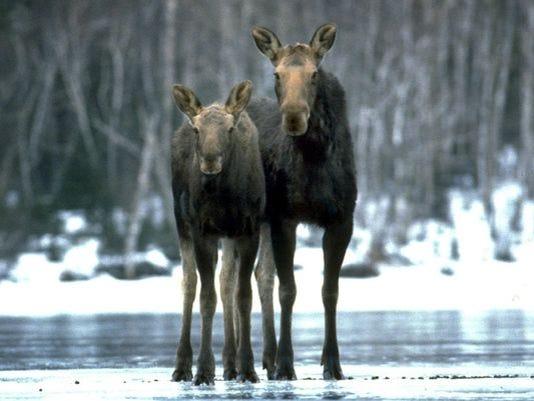 635720393142278028-Isle-Royale-moose