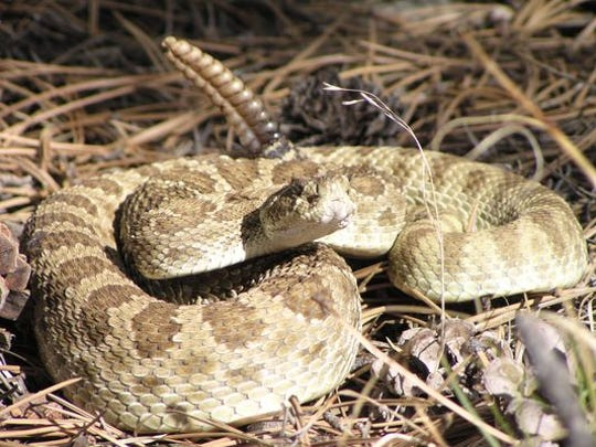 There may be as many as 100 dogs that get bitten every summer in Larimer County by rattlesnakes