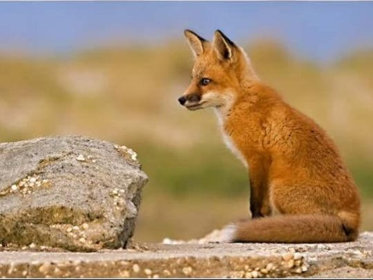 A 2008 file photo shows a red fox at Sandy Hook Gateway National Recreation Area. Authorities found a rabid fox in Middletown.
